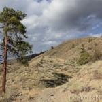 Vialo trail pine (Okanagan) - digital photograph by Native American Indian photographer Jude Norris